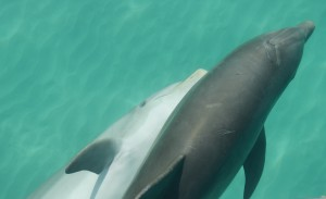 Two dolphins swimming in Key West