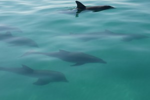 Dolphins swimming underwater in Key West