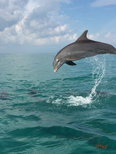 Dolphin Above Water